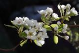 Pear blossom (IMG_9770ok.jpg)