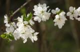 Crataegus laevigata blossom - glog (IMG_9635ok.jpg)