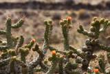 Cactus flowers - Peru (IMG_4209ok.jpg)