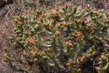 Cactus flowers - Peru (IMG_4363ok.jpg)