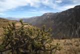 Cactus flowers, Canjon de Colcas - Arechipa - Peru (IMG_4390ok.jpg)