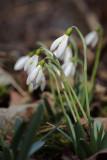 Galanthus nivalis - zvonèek (IMG_4291m.jpg)