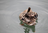Funny duck (IMG_8278m.jpg)