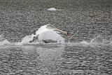 swan - labod grbec (IMG_8233m.jpg)