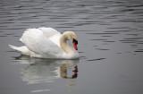 swan - labod grbec (IMG_8159 m.jpg)