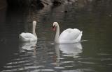 swan - labod grbec (IMG_8186m.jpg)