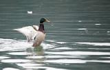 duck mallard (IMG_8212m.jpg)