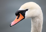 swan - labod grbec (IMG_8305ok.jpg)