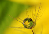 water drop with reflection on dandelions (IMG_9090m.jpg)