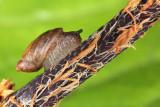 Lymnaea - swamp snail- moèvirski pol¾ (IMG_8713m.jpg)