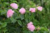 Rosa canina - ¹ipek (IMG_2970m.jpg)