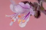 The flower of basilica (IMG_5668m.jpg)