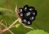 Black berry (IMG_9540m.jpg)
