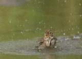 Grauwe gors (Emberiza calandra)