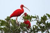Vermiljoen rode ibis