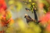 Bruine-muisvogel