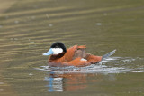 Érismature rousse - Ruddy duck - Oxyura jamaicensis