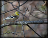 Goldfinch in Autumn Colors