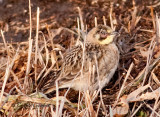 Horned Lark-sick or injured?