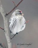 Redpolls in Vermont 2011-one Hoary?