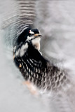 hairy.woodpecker.flight.c.crawford.jpg