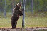 Brown Bears Finland