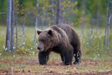 rown Bears Finland