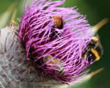 Spear Thistle and bees