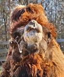 Baktrian Camel Spit