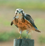 Swainson Hawk 3.jpg