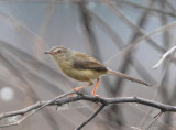 Yellow-bellied Prinia delacouri