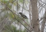 White-shouldered Starling