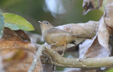 Fulvettas and Ground Babbler