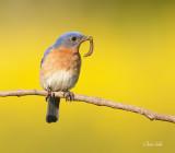 merle_bleu_cardinal_geai_mesangeai_tangara_passerin