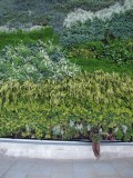 Living wall at Trafalgar Square, meant to recreate recreate Van Gogh's A Wheatfield, with Cypresses