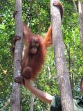 Orangutan viewing in Borneo