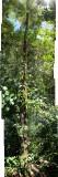 Tree fern at Mt. Kinabalu Nat'l Park
