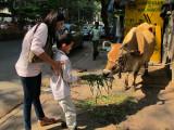 Feeding a cow with Radhika Masi