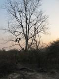 Tree full of langurs!