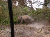 Close call with a juvenile elephant