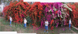 Rahil at Pataudi Palace with bougainvillea (25 Mar 2012)