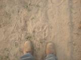 Tiger footprint, Corbett National Park (April 2012)