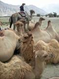 Atop a Hunder camel