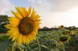 Sunflower-8578.jpg
