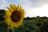 sunflower IMGP8578.jpg