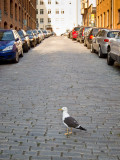 Gull on cobbled street