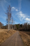 Birches by the road