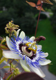 Sony RX-100 meets Passion flower