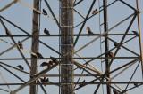 Turkey Buzzards
