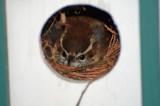 Carolina Wren on her nest